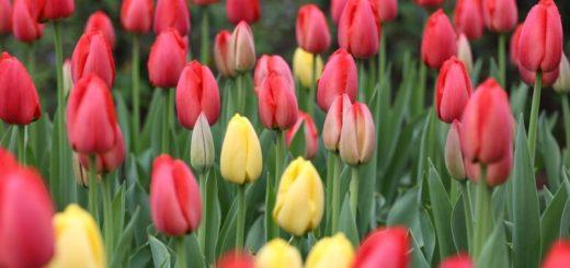 Indie plná tulipánů