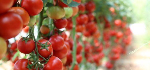 choroby rajčata