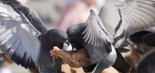 Chov holubov ako jeden z najstarších koníčkov