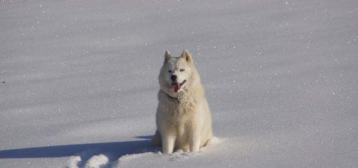 Aká psie plemená milujú zimu a aká naopak nie?