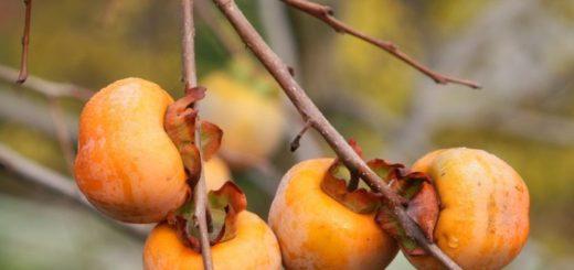 Kaki je obľúbené exotické ovocie. Ako ho ale vypestovať doma?