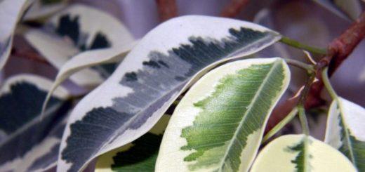 Na čo si dať pozor pri pestovaní fikusov?
