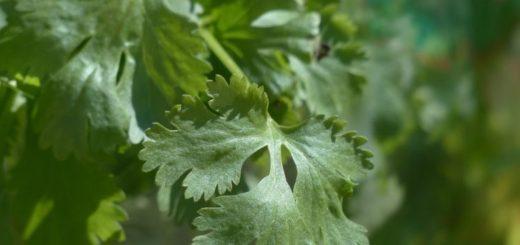 Pestujeme koriander, bylinku uľavujúca od kŕčov