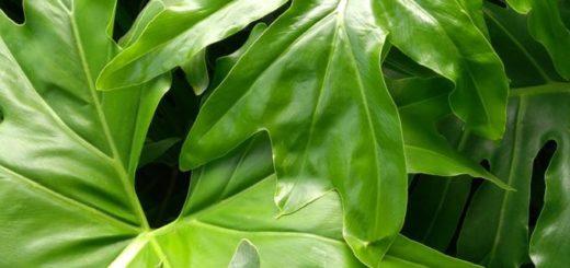 Pestujeme filodendron, popínavou nenáročnú izbové