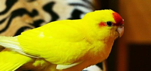 Dôvody, prečo si zaobstarať papagája kakariki